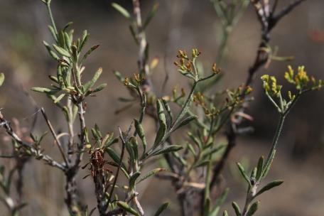 Eriogonum microthecum var. ambiguum 01