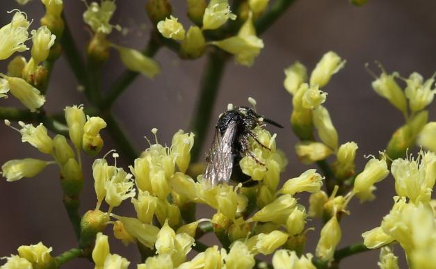 Eriogonum microthecum var. ambiguum 02