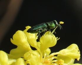 Eriogonum umbellatum ellipticum 001