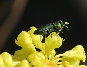Eriogonum umbellatum ellipticum 002