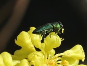 Eriogonum umbellatum ellipticum 003
