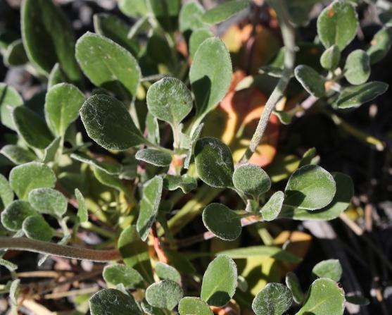 Eriogonum umbellatum ellipticum 01