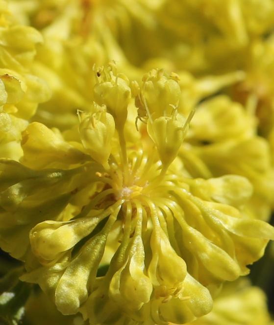 Eriogonum umbellatum ellipticum 03