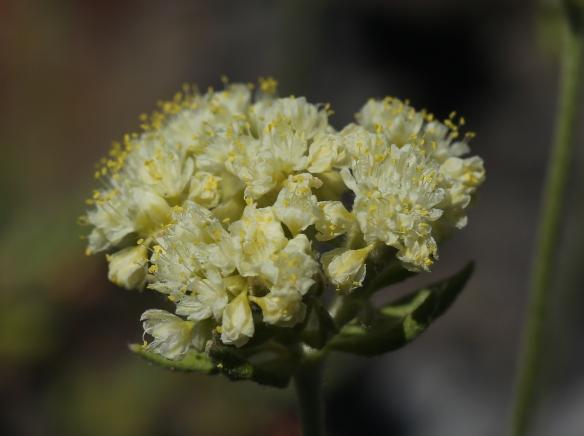 Eriogonum ursinum erubescens 06