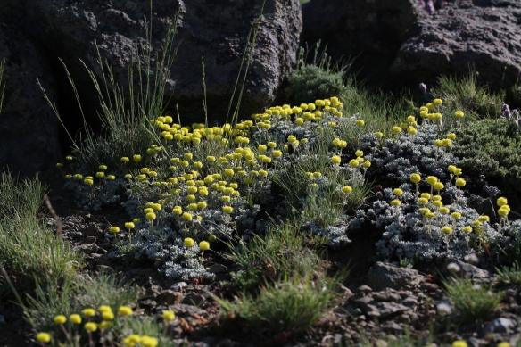 Eriogonum douglasii var. meridionale 03