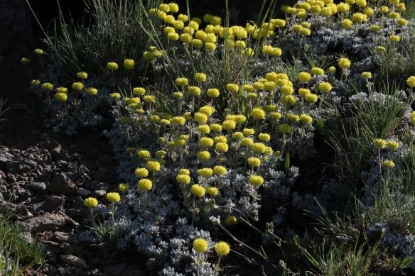 Eriogonum douglasii var. meridionale 04