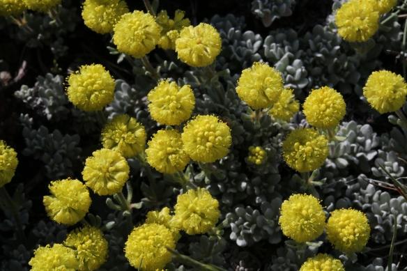 Eriogonum douglasii var. meridionale 047