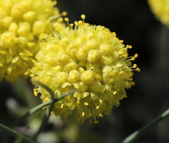 Eriogonum douglasii var. meridionale 06