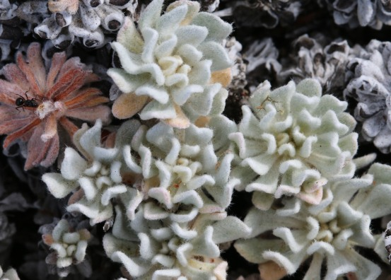 Eriogonum douglasii var. meridionale 10