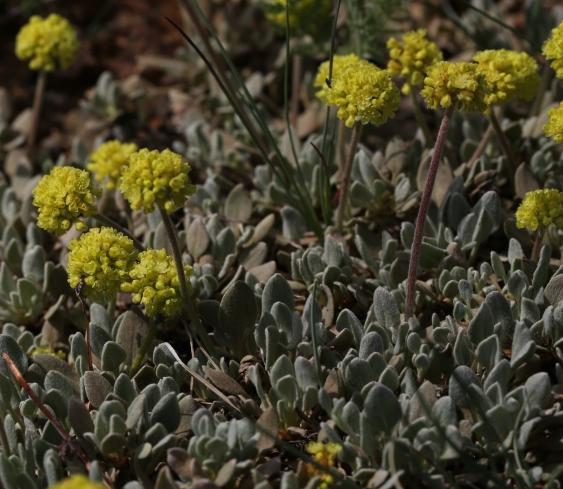 Eriogonum ovalifolium var ovalifolium 04