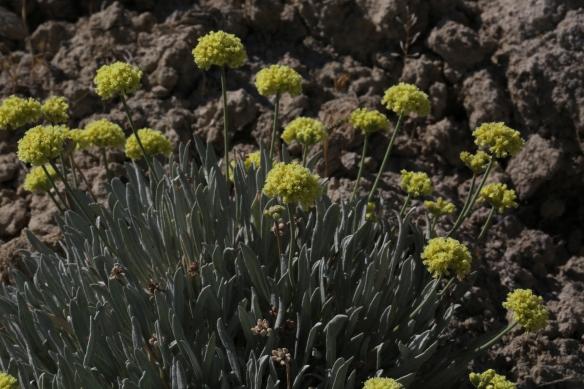 Eriogonum calcareum calcateum 013