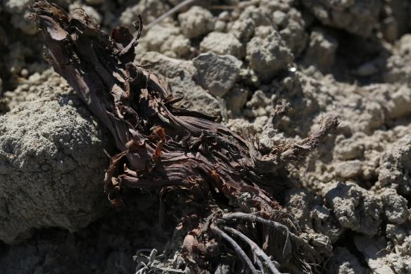 Eriogonum calcareum calcateum 09