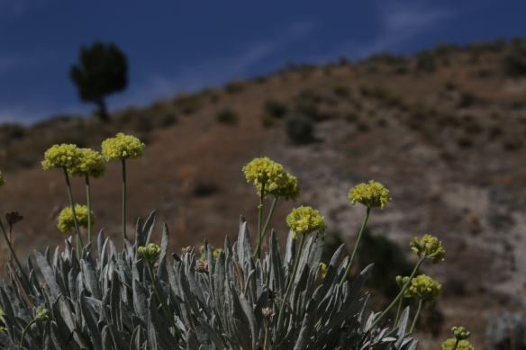 Eriogonum calcareum calcateum 16
