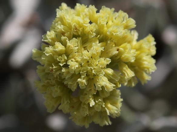 Eriogonum calcareum calcateum 18