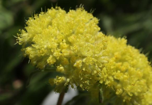 Eriogonum flavum var. piperi 01