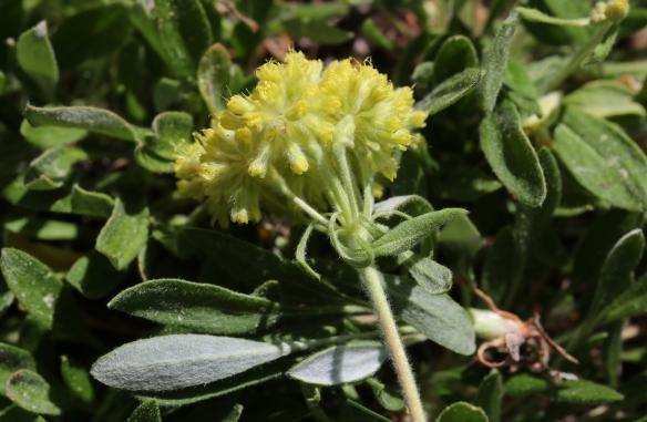 Eriogonum flavum var. piperi 02