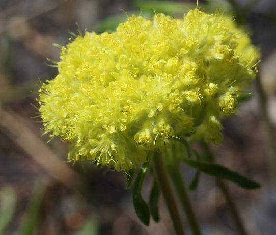 Eriogonum flavum var. piperi 03