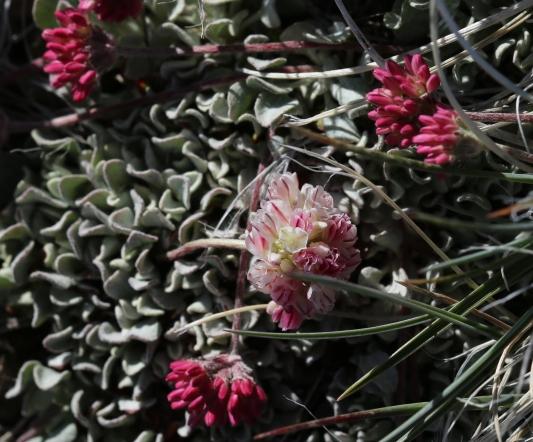 Eriogonum ovalifolium rubidium 01