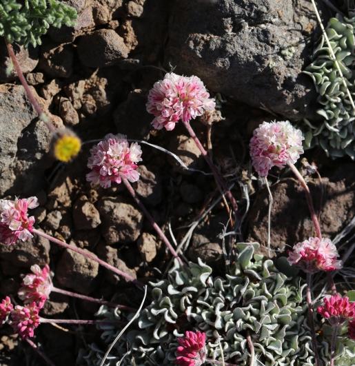 Eriogonum ovalifolium rubidium 02