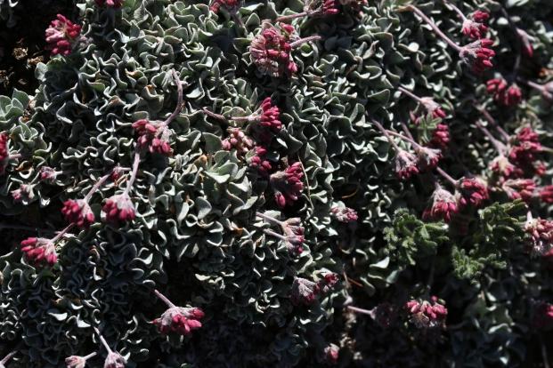 Eriogonum ovalifolium rubidium 07